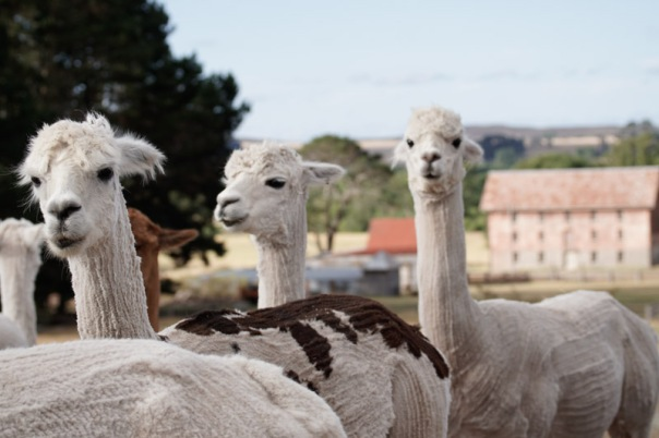 alpacas%20by%20the%20mill